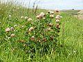 Trifolium hybridum 230711a.jpg