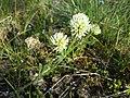Trifolium montanum (subsp. montanum) sl6.jpg