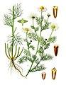 Tripleurospermum inodorum - Köhler–s Medizinal-Pflanzen-178.jpg