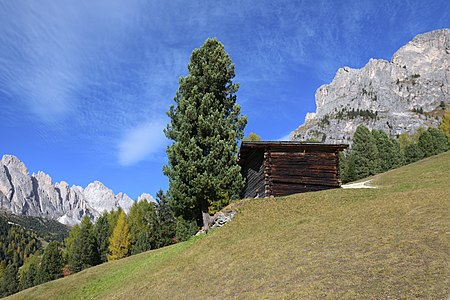 A hay barn and Swiss pine tree (pinus cembra) with the Odles Group and the Stevia Mountain, Puez-Geisler Nature Park, Dolomites UNESCO World Heritage Site.