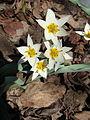 Tulipa turkestanica Y012.jpg