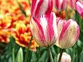 Tulips (70694665).jpeg