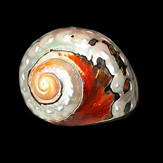 Turbo sarmaticus - A polished shell of Turbo sarmaticus
