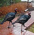 Turkeys on path.jpg