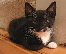 8 Fun Facts About Tuxedo Cats  |Tuxedo Munchkin Cat Kittens
