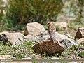 Twite (Carduelis flavirostris) (36217284042).jpg