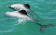 Two Maui's dolphins.jpg