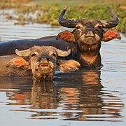 Two water buffaloes bathing at sunset.jpg