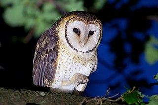 Tasmanian masked owl species of bird