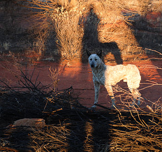 Dingo–dog hybrid - A dog at Uluru with visible characteristics of other dog-lines.