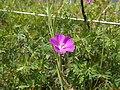 Un fiore viola M. Lefre.jpg