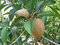 Unbekannte Früchte an einem Baum in Vietnam.JPG