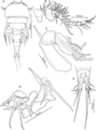 Unicolax longicrus (10.7717-peerj.6858) Figure 5.png