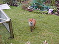 Urban fox 380.jpg