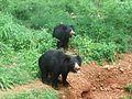 Ursus ursinus sloth bear at IGZoopark Visakhapatnam.JPG