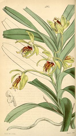 Illustratie uit Curtis's Botanical Magazine door William Jackson Hooker