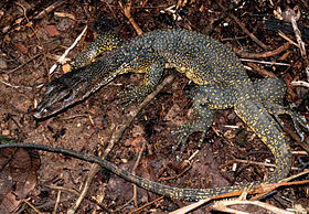 Varanus marmoratus (KU 330731) from low-elevation, Mt. Cagua - ZooKeys-266-001-g068.jpg