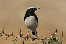 Variable wheatear (Oenanthe picata capistrata) male.jpg