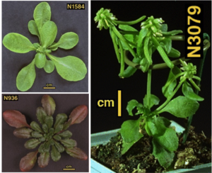 Nottingham Arabidopsis Stock Centre - Photographs of example arabidopsis ecotypes (left) and a mutant line (right) taken within NASC from real stocks available to the scientific public.