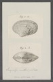 Venus nebulosa - - Print - Iconographia Zoologica - Special Collections University of Amsterdam - UBAINV0274 077 11 0028.tif