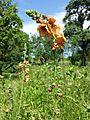 Verbascum blattaria × phoeniceum sl1.jpg