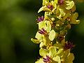 Verbascum sp.-IMG 8739.jpg