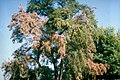 VerticilliumWilt Infected Tree.jpg