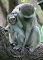 Vervet Monkeys (6608145139).jpg