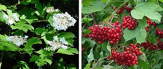Viburnum opulus - Flowers (left) and fruit