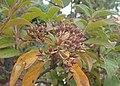 Viburnum rigidum kz01.jpg