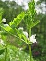 Vicia sativa subsp. nigra 02.jpg