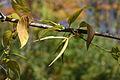 Vincetoxicum rossicum 5452360.jpg