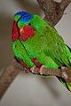 Vini australis -London Zoo, England -two-8a.jpg