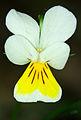 Viola tricolor - flower.jpg