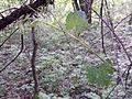 Vitis vinifera subsp. sylvestris sl1.jpg