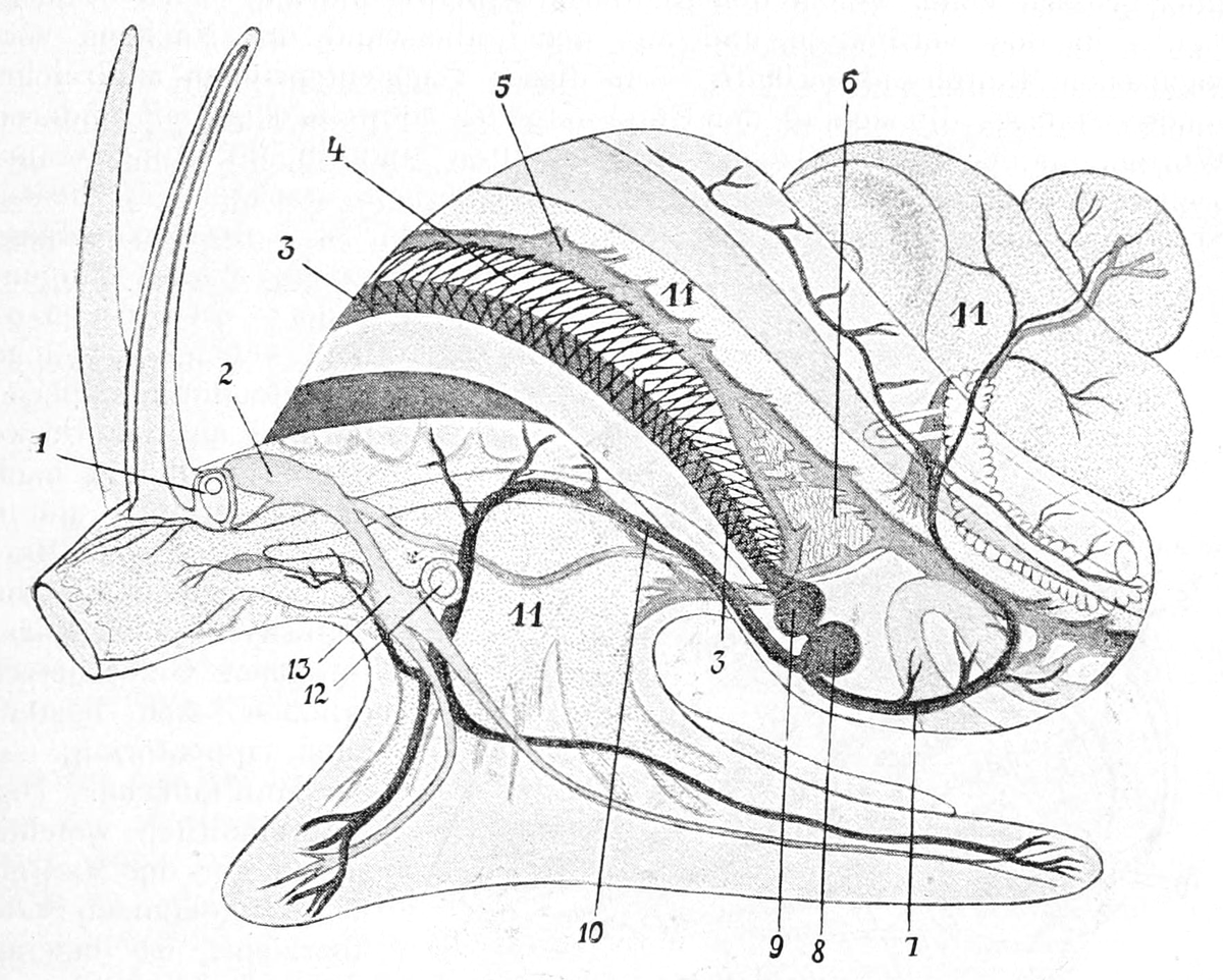 Circulatory system of gastropods wikipedia ccuart Gallery