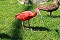 Vogelpark Walsrode - Freiflughalle - Eudocimus ruber 03 ies.jpg