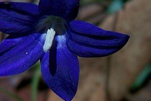 Wahlenbergia gloriosa - Image: Wahlenbergia gloriosa closeup