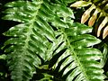 Wart Fern - Flickr - treegrow.jpg