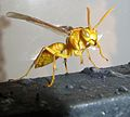 Wasp Punjab-India.JPG