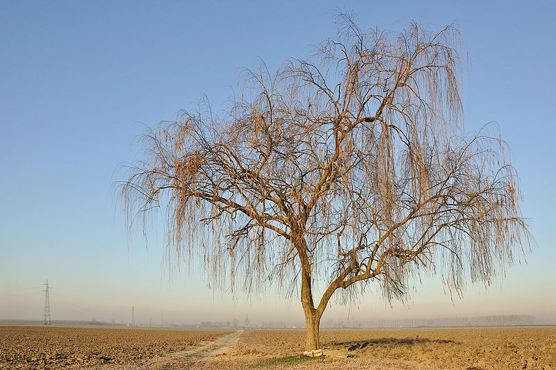File:Weeping Willow - Sant'Agata Bolognese, Bologna, Italy 01.jpg