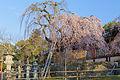 Weeping cherry tree in Himuro jinja 20150326 01.jpg