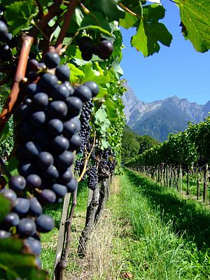 Swiss wine - Red grape varieties growing in Graubunden.