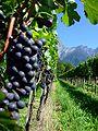 Weintrauben Fläsch.jpg