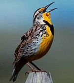 This image has an empty alt attribute; its file name is 150px-WesternMeadowlark23.jpg