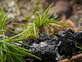 Western Larch (Larix occidentalis) -- young leaves.jpg