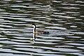 Western grebe (30862070213).jpg