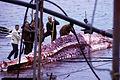 Whale skinning 02.jpg