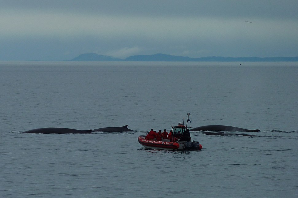 Whale watching Tadoussac 11