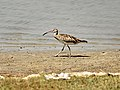 Whimbrel (Numenius phaeopus) from Villupuram dt IMG 4076.jpg
